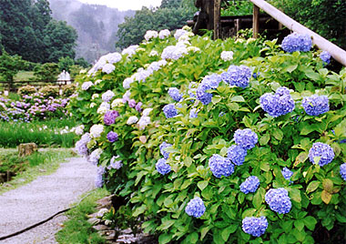 http://www.takidani.net/photo/ajisai/ajisai01.jpg